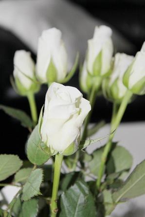 hvite roser6