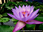 Lotus Flower, Tarun Chandel Photoblog