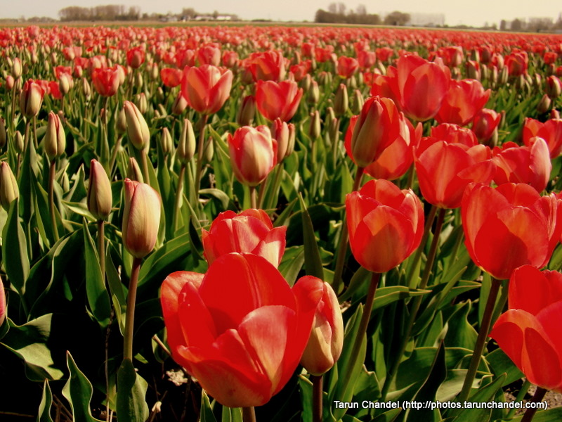 Red Tulips Flowers Gardens Fields Kuekenhof Netherlands, Tarun Chandel Photoblog