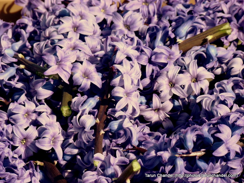 Purple Tulips Flowers Bunch Kuekenhof Netherlands, Tarun Chandel Photoblog