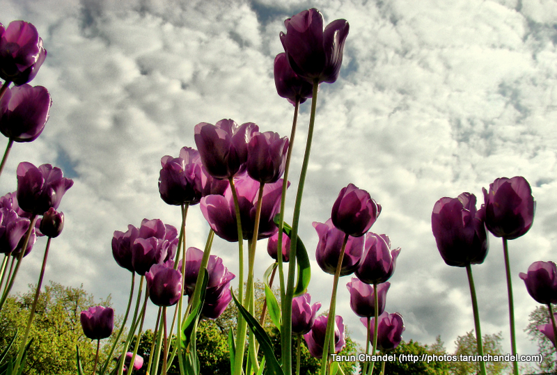 Dark Tulips Sky London UK, Tarun Chandel Photoblog