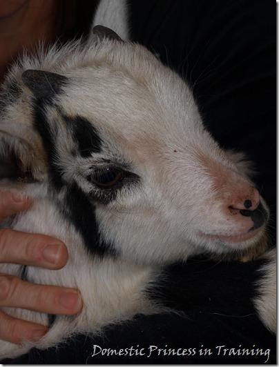Goat 3.2010 059