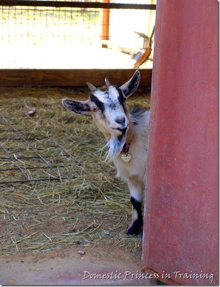 Goat 3.2010 049-edit