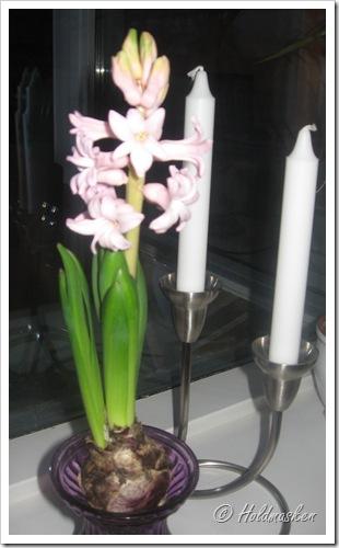 hyacint 004