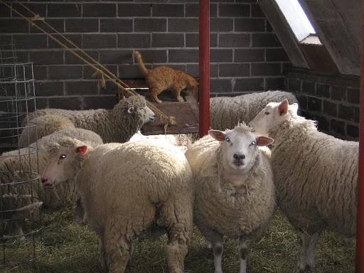 american livestock breeds