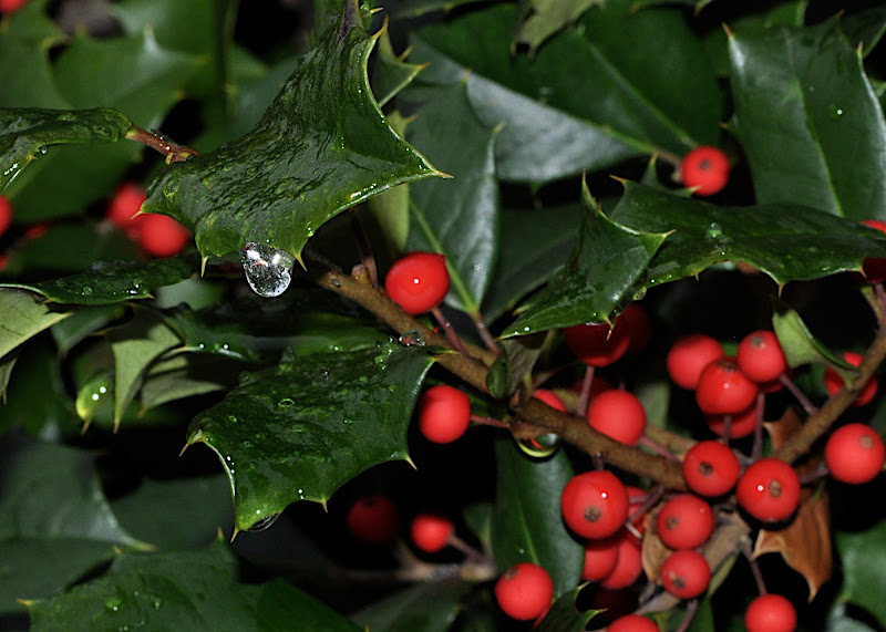 holly berries and leaves with ice