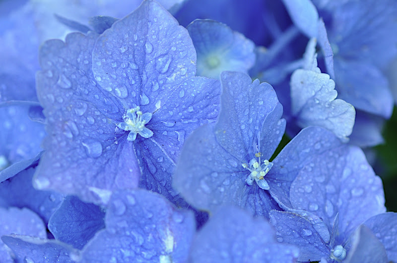 hydrangea blossoms in the rain