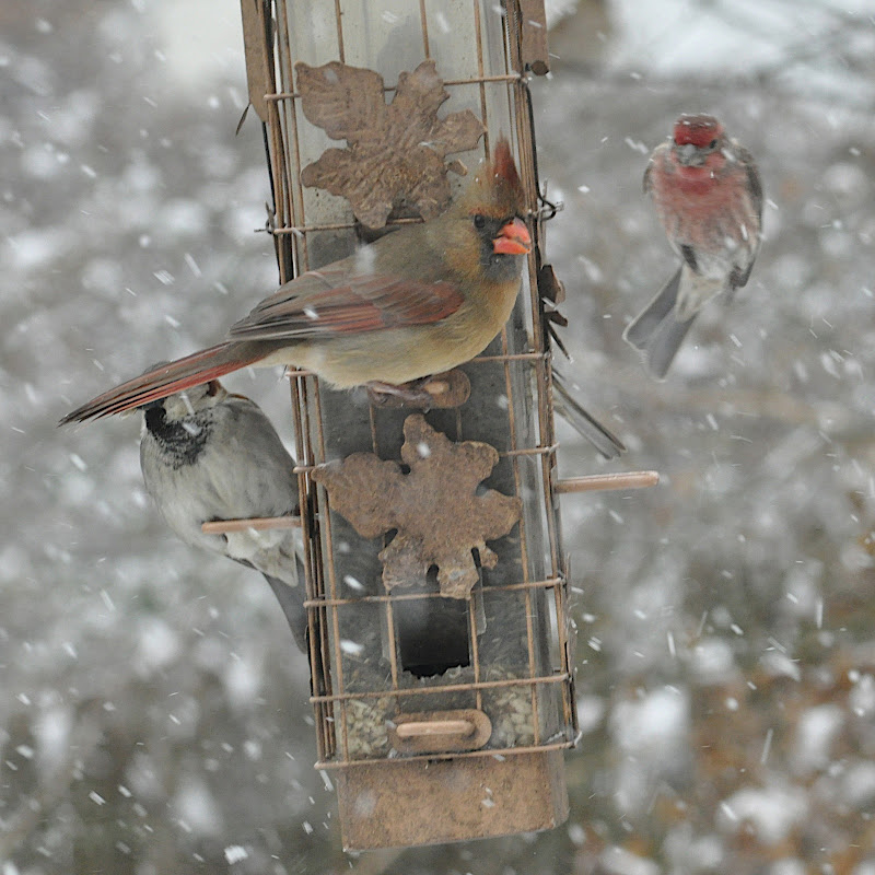 sparrow, female cardinal and house finch