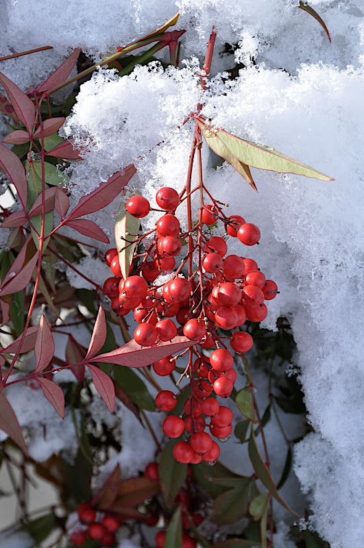 red berries in snow and ice