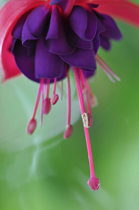 fuchsia splendor... macro