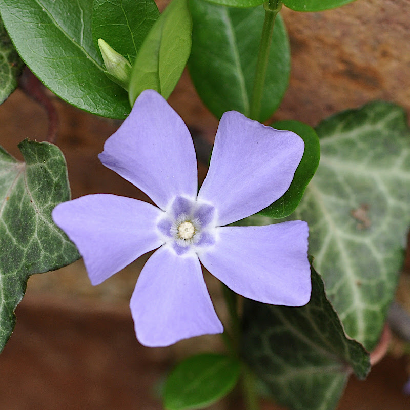 vinca blossom