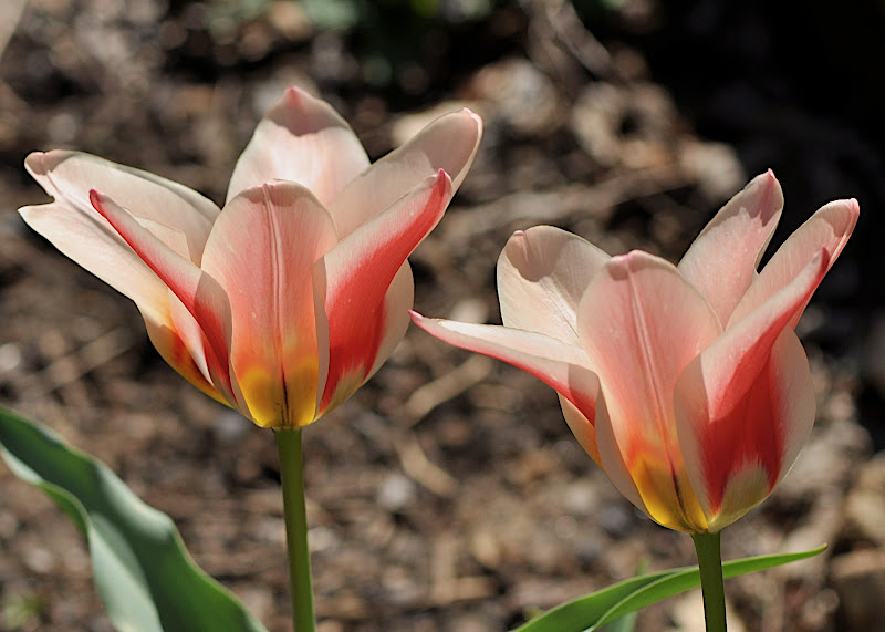 pale orange tulips