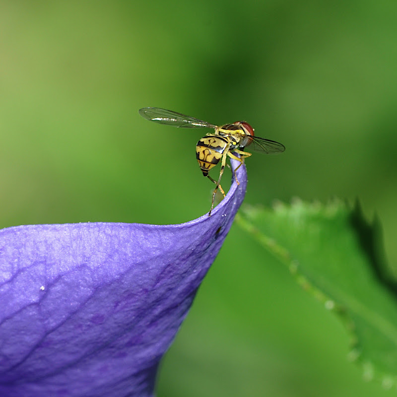 Hoverfly on Balloon flower