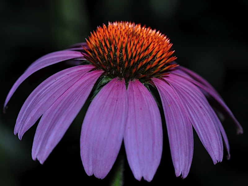 coneflower blossom