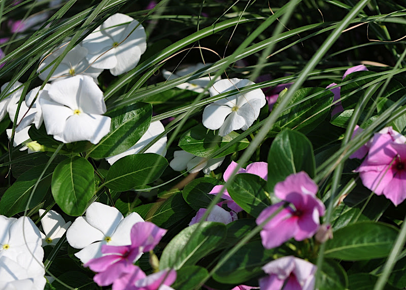 pink and white impatiens