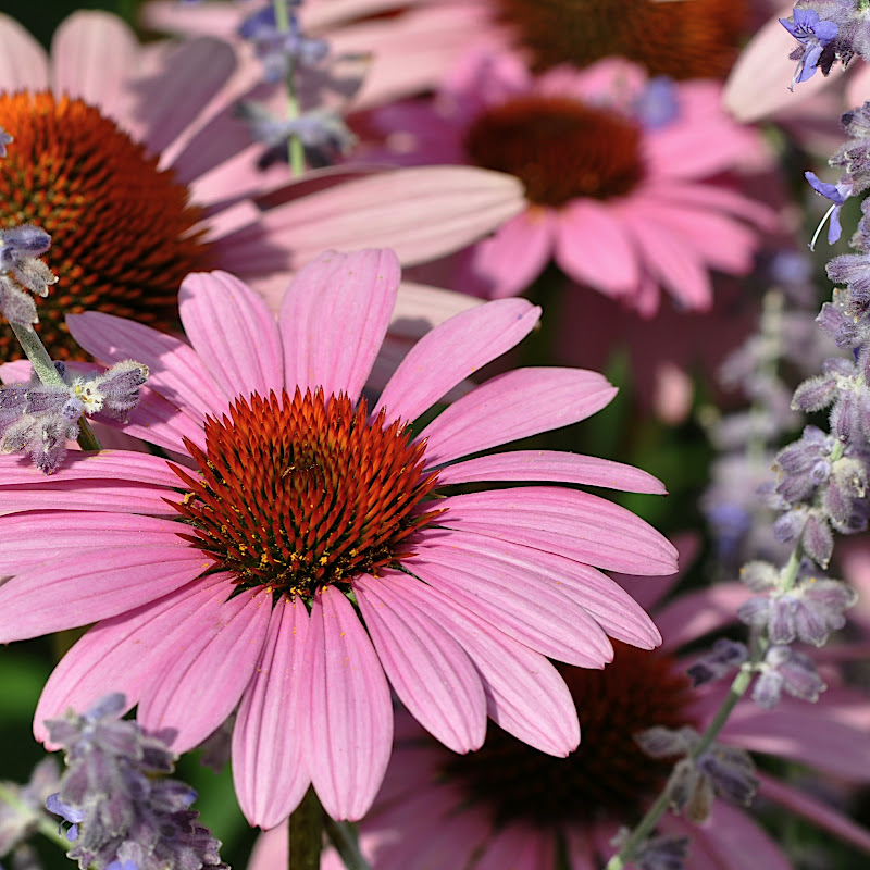 Lavender and Coneflower