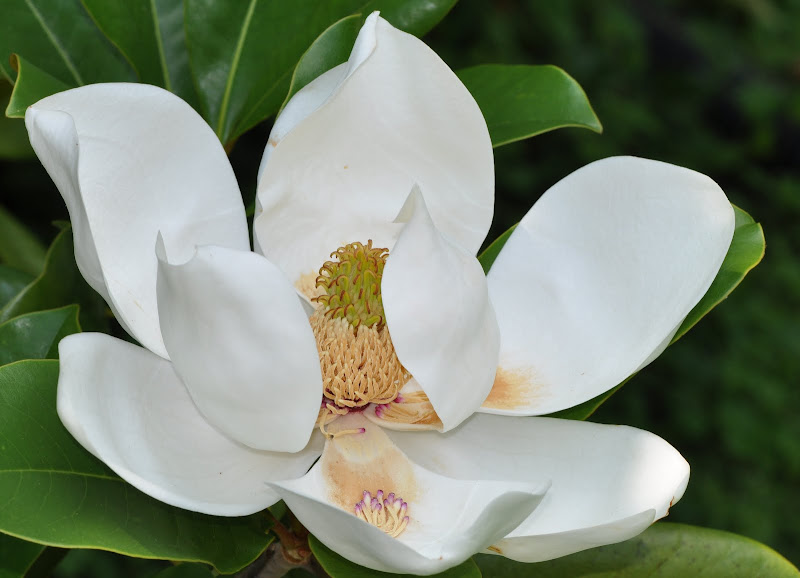 white magnolia blossom