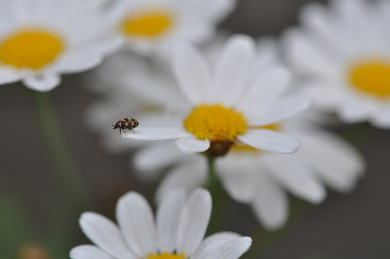 carpet beetle on daisy flower