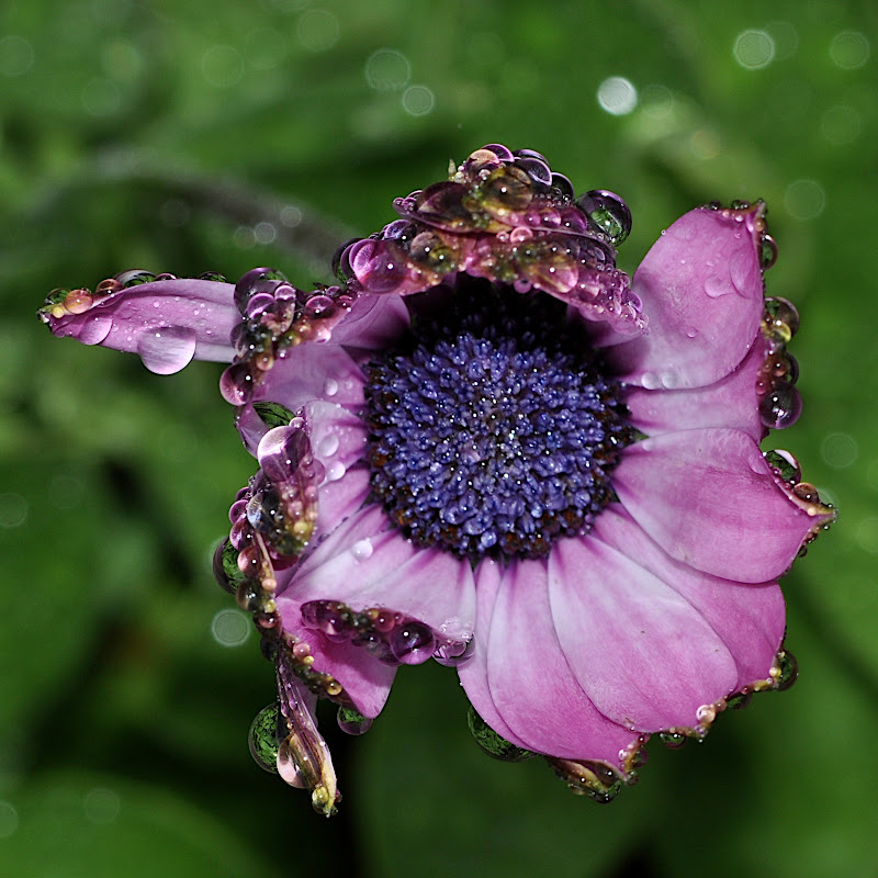 African Daisy blossom wet with raindrops