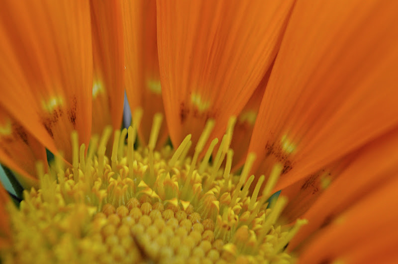 orange gazania center