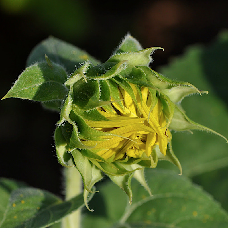 sunflower blossom beginning to open