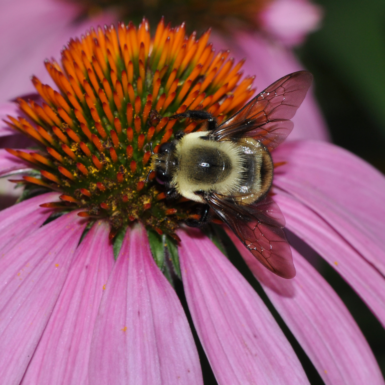 bumblebee in coneflower