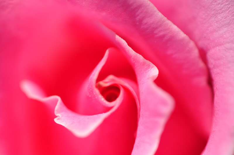 pink rose macro