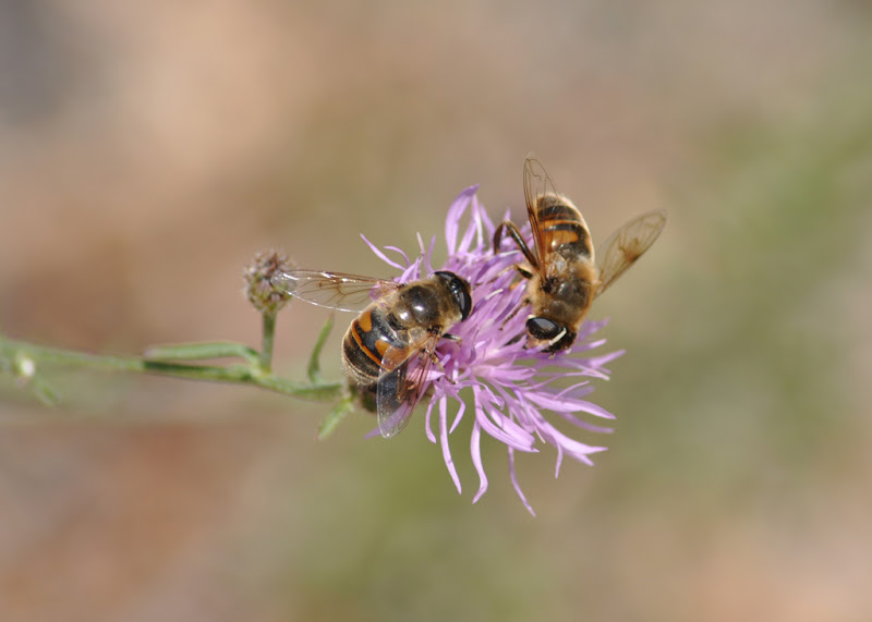 hoverflies on a wildflower