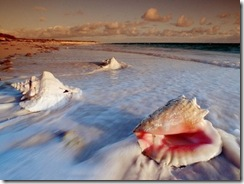 ws-Conch-Shells-1280x1024-771185