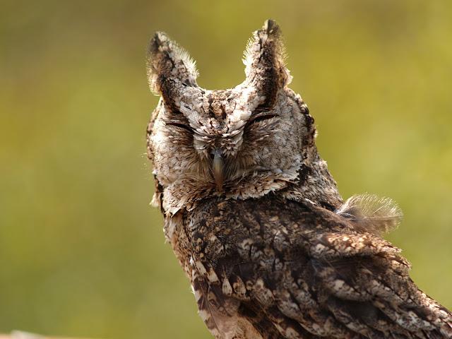 与猫头鹰亲密接触 - bldr - Georges blog