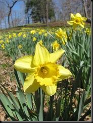 Daffodil gardens 022