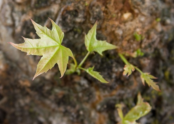 tiny-maple-leaves