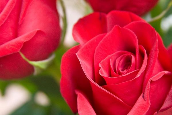 rose-texture