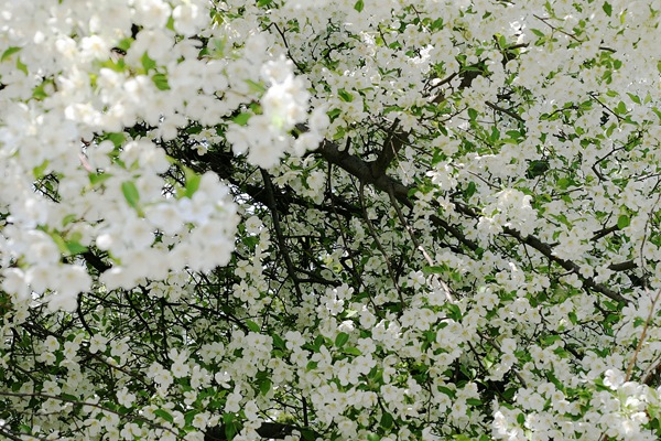 Fabulous white flower tree for wallpaper