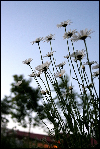 daisies at dusk