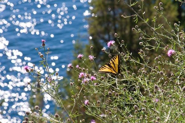 Flathead-butterfly