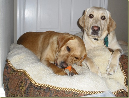 Wendy and Reyna laying on a dog bed together.  Reyna is laying there with an angelic look on her face.  Wendy is very intently chewing a bone.