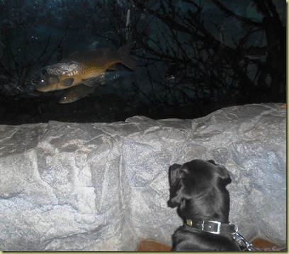 Sheba watching the fish as they swim by in the glass wall tank.