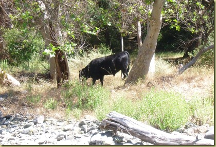 A Pete distraction!  A cow roaming free just a few feet from the creek where the dogs were playing.