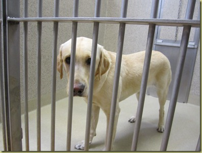 Reyna standing in the kennel at GDB with a sad look on her face.