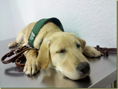 Vienna falls asleep on the exam table waiting for the vet.