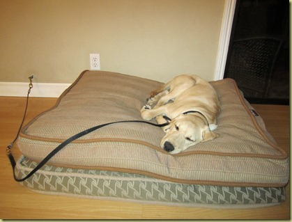 Perez sound asleep on tie down while he is on a dog bed.