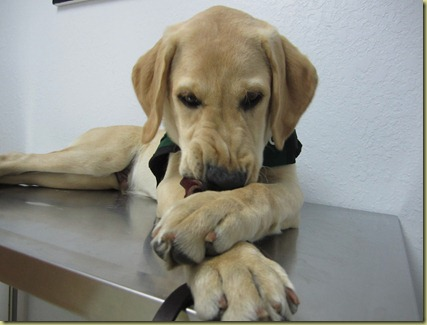 Perez on the exam table with his leash between his front paws as he chews on it.