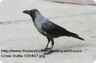 House-Crow-India-100407