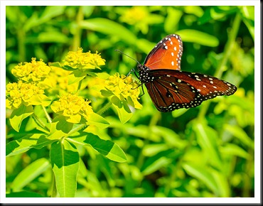Danville-Butterfly-2