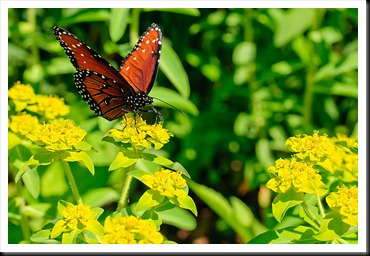 Danville-Butterfly-3