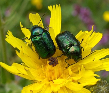 Green%20beetles