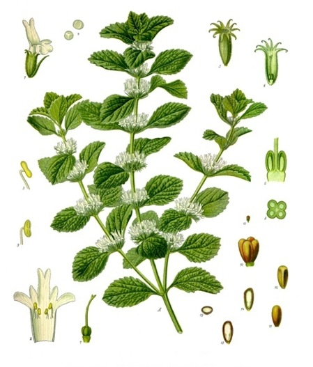 horehound plant