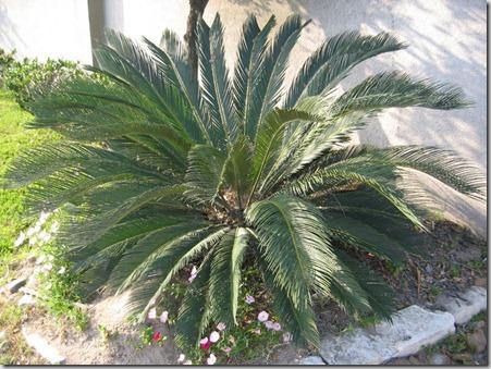 Palm-Sago