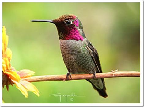 annas_hummingbird_m[1]